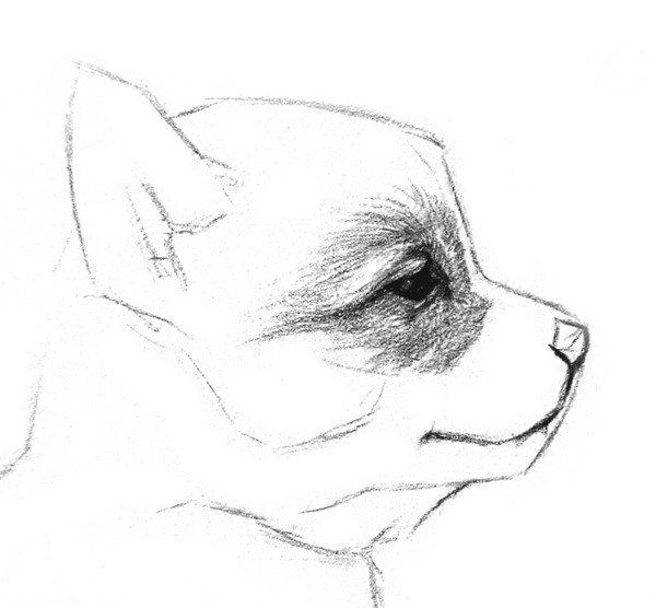 素描动物入门:素描小狗的绘画教程(2)