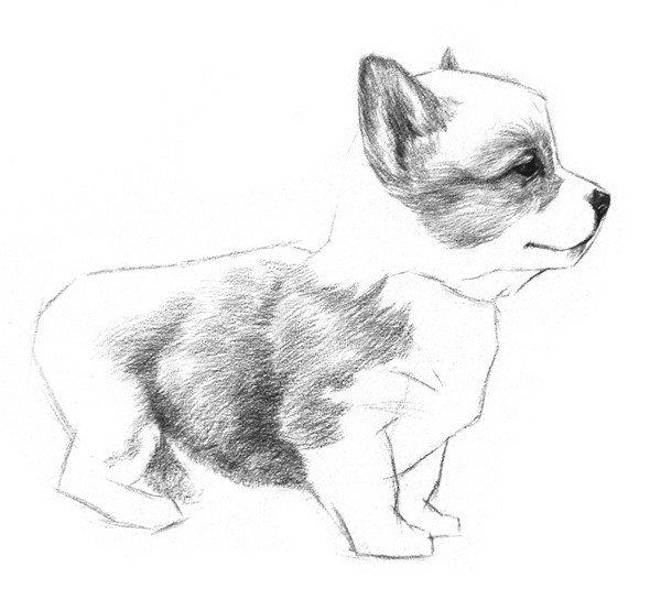 6、继续绘制小狗腹部的毛,排线方向同样也是由前半身往后腿方向去。腿和腹部交接的地方稍微加深一点。  素描小狗的绘画步骤教程六 7、在小狗后腿、前胸、脸的下部这些毛色稍浅的地方也画上毛发。  素描小狗的绘画步骤教程七  小狗的素描步骤七-1