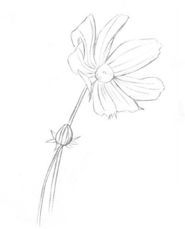 素描植物波斯菊绘画步骤教程