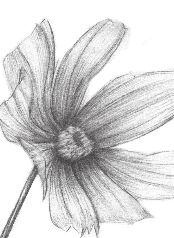 素描植物波斯菊绘画步骤教程(3)