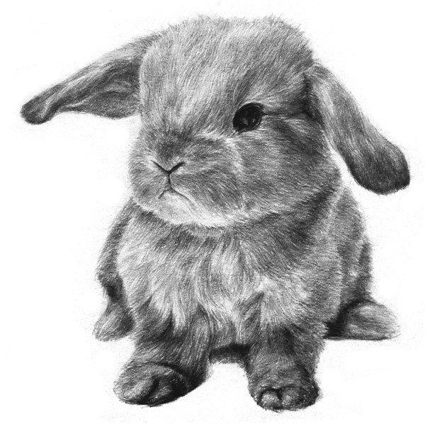 素描动物入门:素描小兔子的绘画步骤