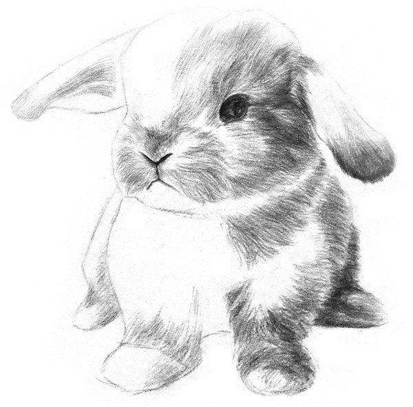 素描动物入门:素描小兔子的绘画步骤(3)