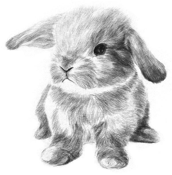 素描动物入门:素描小兔子的绘画步骤(4)