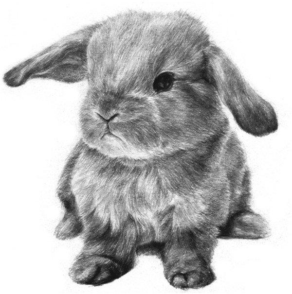 素描兔子的绘画步骤十二-素描动物入门 素描小兔子的绘画步骤 5图片