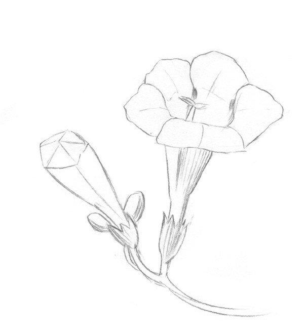 素描凌霄花的绘画步骤二