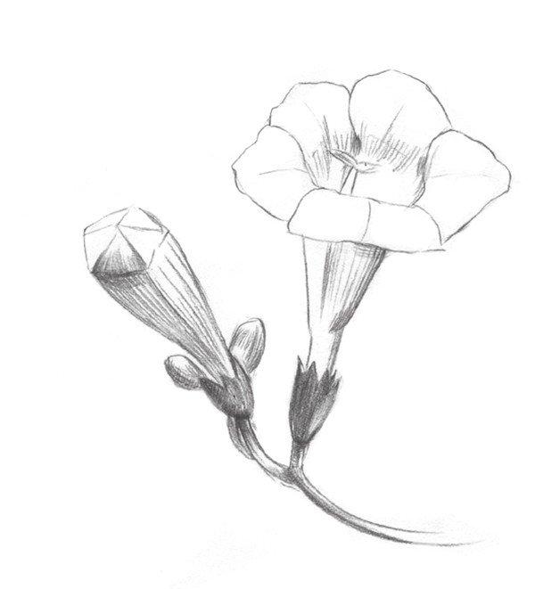 素描植物入门:素描凌霄花的绘画教程(2)