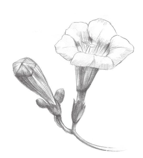 3、 分出凌霄花的明暗,加重背影部分的色调。 素描凌霄花的绘画步骤三 4、 先刻画一片凌霄花瓣,由里向外画放射线,再由外向里画放射线,中间留白,这样一片花瓣就画好了。 素描凌霄花的绘画步骤四 5、 对其余的花