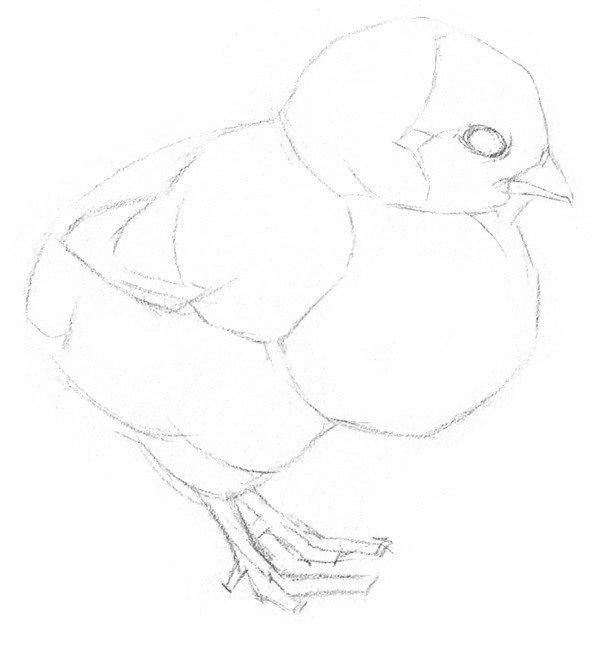 素描动物入门:素描小鸡的绘画教程