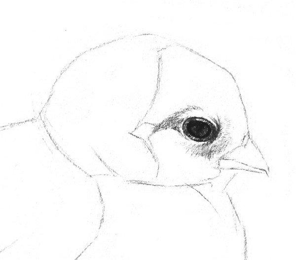 素描小鸡的绘画步骤教程三