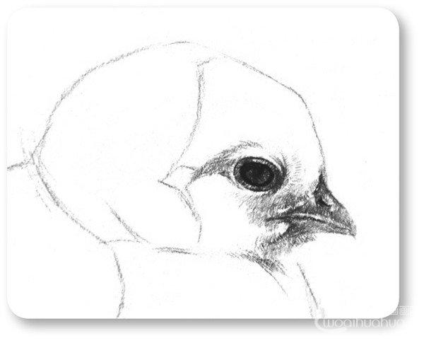 素描小鸡的绘画步骤教程四
