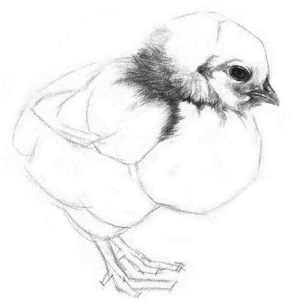 3、刻画眼睛。眼眶和眼珠连接的地方最深,其他地方可以画得随意一些。画眼睛的时候一定要把眼眶周围也一并画了。  素描小鸡的绘画步骤教程三 4、小鸡的嘴巴有微妙的结构,上喙部有扁扁的鼻孔,上下喙部靠近的地方有厚度,不能画扁平了。  素描小鸡的绘画步骤教程四 5、从脑袋和身子连接的地方开始画绒毛,颈部画上深色。  素描小鸡的绘画步骤教程五