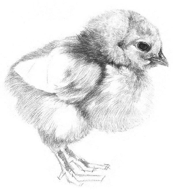 素描动物入门:素描小鸡的绘画教程(3)