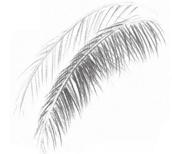 静物素描:椰子树叶的绘画步骤