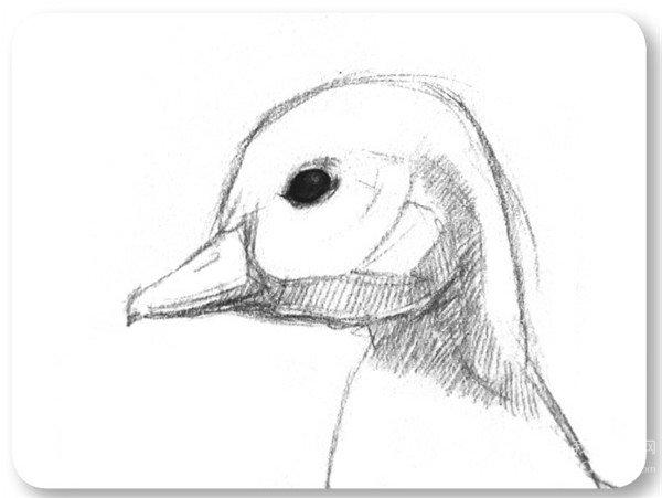 素描动物入门:素描小鸭子的绘画步骤(2)