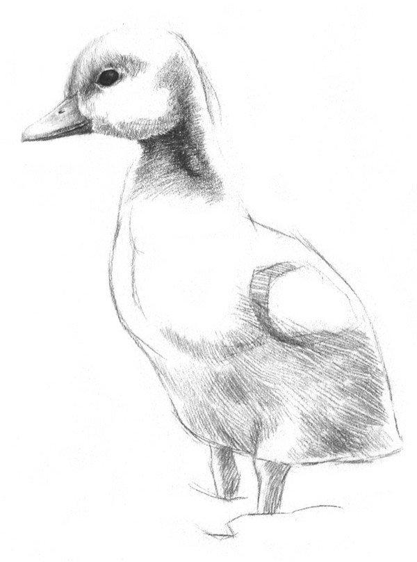 3、在小鸭子的眼珠子上留出一点高光,其余地方涂黑,再在靠近下面的地方轻轻擦出一点反光。  素描小鸭子的绘画步骤三 4、画小鸭子的嘴。别忘了小鼻孔和上喙部的厚度,顺便画些眼睛上部的绒毛。  素描小鸭子的绘画步骤四 5、画脸颊后部和脖子上的绒毛,在头和脖子的交界处要深一点。  素描小鸭子的绘画步骤五