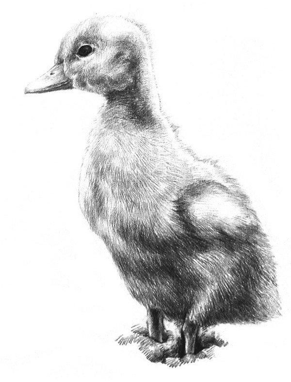素描动物入门:素描小鸭子的绘画步骤(4)