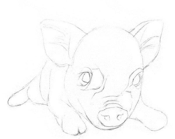 1、粗略画出小猪的大致轮廓。小猪的头很大,耳朵有半个头高,在小猪脸部画十字线帮助定出五官的位置。  素描小猪绘画步骤一 2、细致描绘出小猪身体各部位的轮廓。鼻子根部有一圈一圈的褶皱结构,眼睛有多层眼皮。  素描小猪绘画步骤二