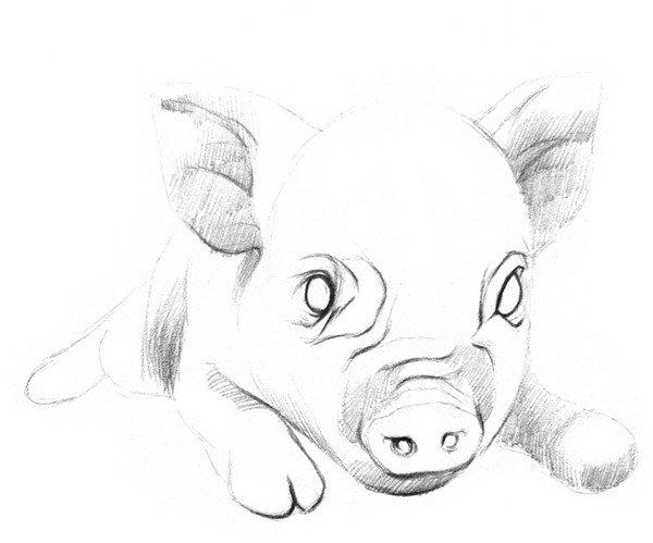 素描动物小猪的绘画步骤(2)