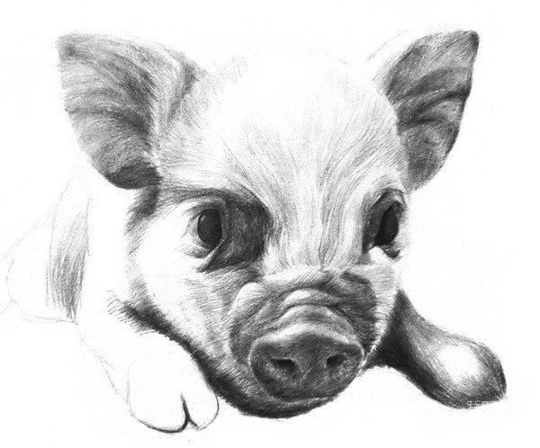 素描动物小猪的绘画步骤(3)_素描教程_学画画_我爱