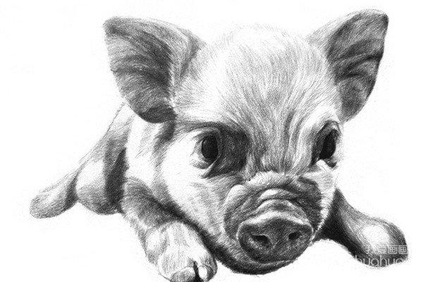 素描动物小猪的绘画步骤图片