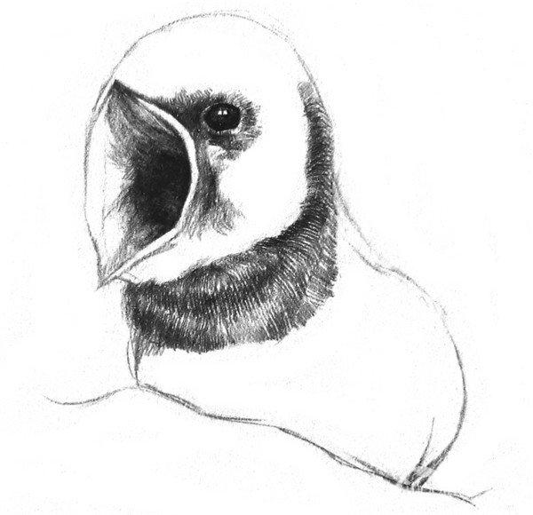 学画画 素描教程 素描动物 > 素描小燕子绘画步骤(2)      3,在眼珠子
