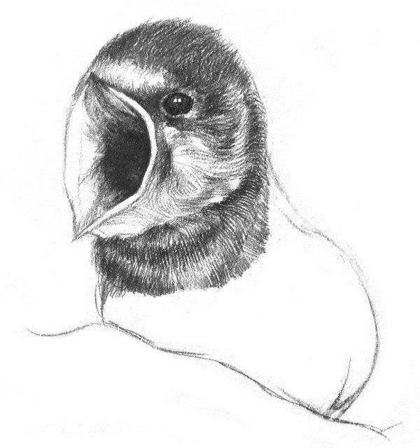动物 > 素描小燕子绘画步骤(3)      6,从嘴往后画出脸上的绒毛,头顶
