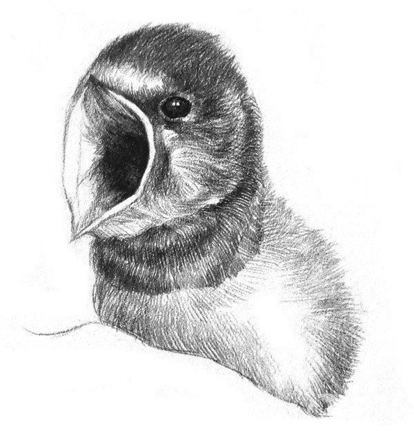 学画画 素描教程 素描动物 > 素描小燕子绘画步骤(3)      6,从嘴往后