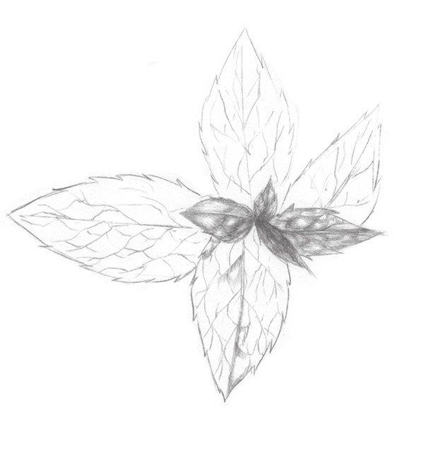 1、用线条画出薄荷叶的整体轮廓,注意叶子的形状。  素描薄荷叶的绘画步骤一 2、在轮廓的基础上绘制出叶子的细节部分,包括叶茎和叶子边缘。  素描薄荷叶的绘画步骤二 3、开始绘制叶子的纹路,线条要干净连贯。 素描薄荷叶的绘画步骤三 素描薄荷叶的绘画步骤四 5、对叶片色调深入处理,注意明暗对比。
