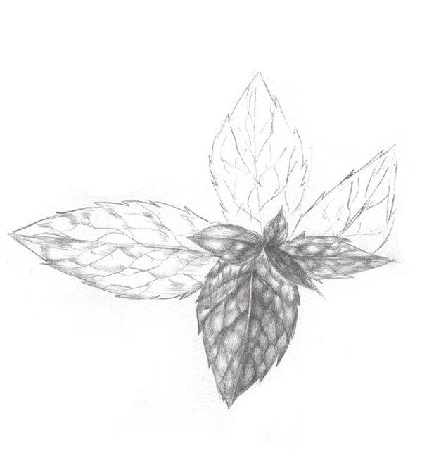 静物素描薄荷叶的绘画步骤入门(2)