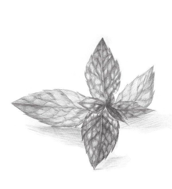 描薄荷叶的绘画步骤 3图片