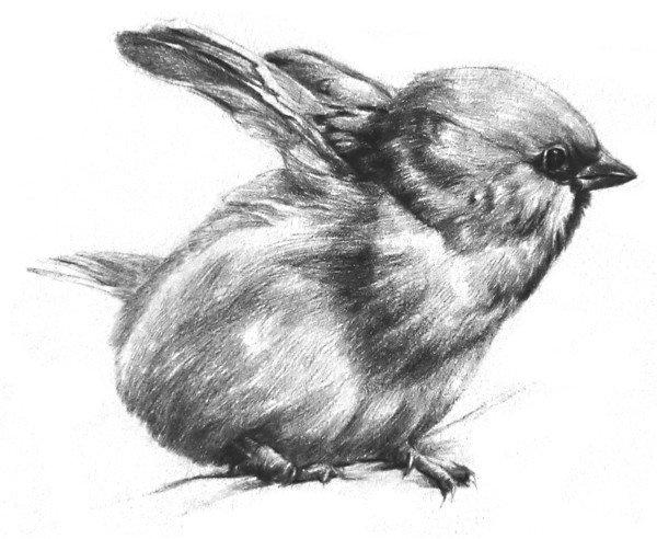 素描动物小麻雀的绘画步骤