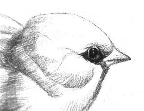 素描动物小麻雀的绘画步骤(2)_素描教程_学画画_我爱