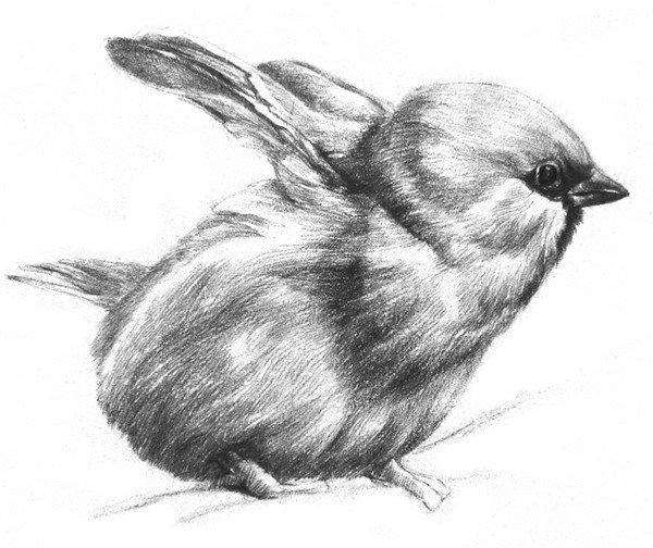 素描动物小麻雀的绘画步骤(3)