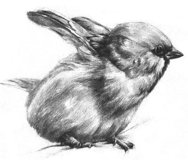 素描动物小麻雀的绘画步骤(4)