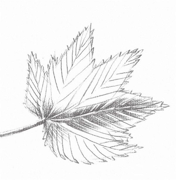 静物素描枫叶的绘画步骤(2)