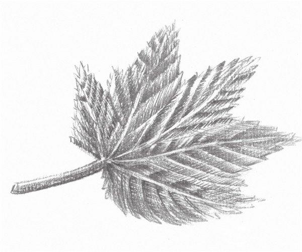 枫叶的把儿是单独生长出来的,绘画者往往会把它与叶子中间的茎画到一起。叶子上所有的茎都从这较粗的把儿开始呈放射状地伸向叶子的各个方向。  素描枫叶的绘制要点 画枫叶一定要画出其近似扇面的基本造型特征,与其他树叶区分开来。