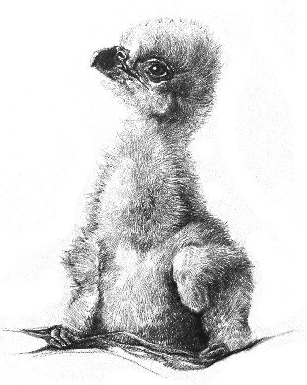 素描动物小鹰的技法步骤教程图片