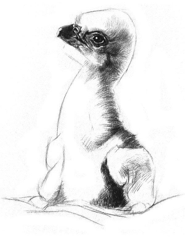 素描动物小鹰的画法(3)