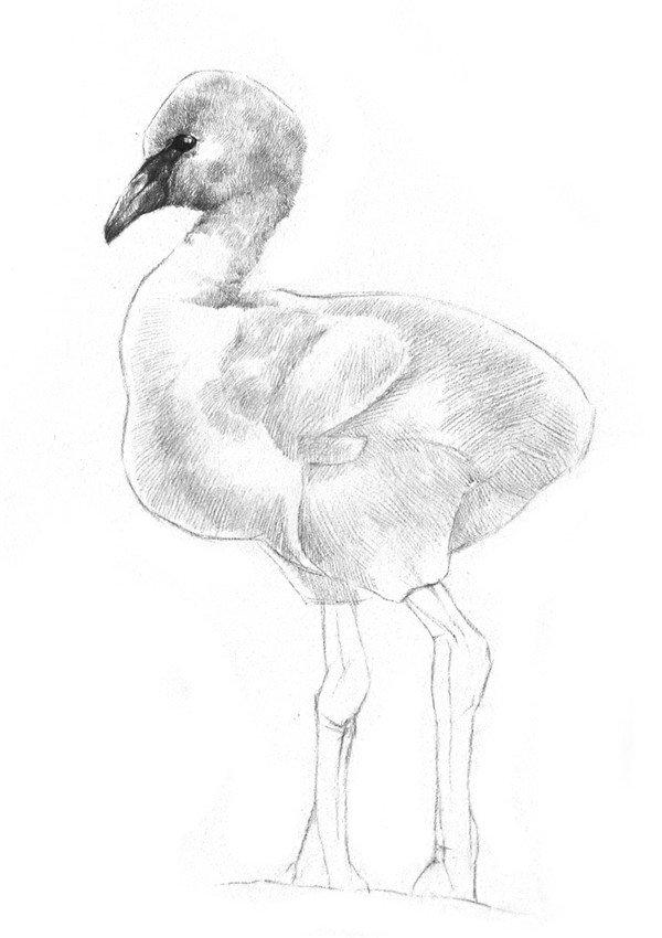 学画画 素描教程 素描动物 > 素描小火烈鸟的绘画教程(3)      5,粗略