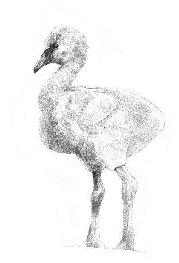 素描小火烈鸟的绘画教程(3)