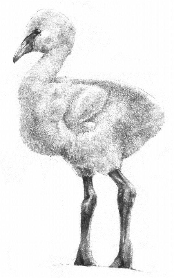 学画画 素描教程 素描动物 > 素描小火烈鸟的绘画教程(4)      7,同样
