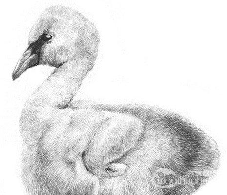 素描小火烈鸟的绘画教程
