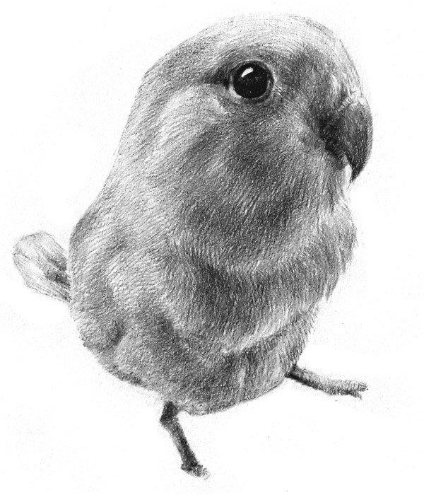 素描小鹦鹉的绘画教程_素描教程_学画画_我爱画画网