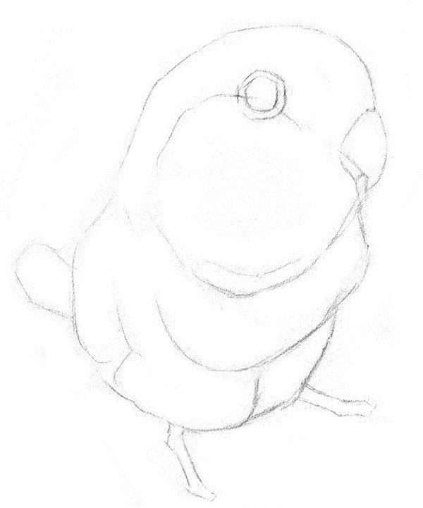素描鹦鹉的绘画步骤二