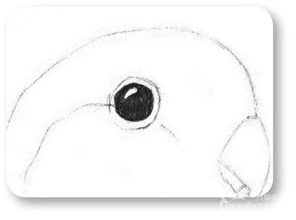 素描动物 > 素描小鹦鹉的绘画教程(2)                  3,刻画一下眼