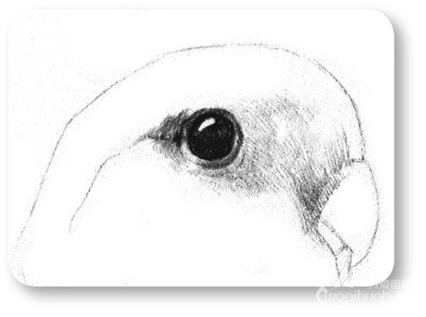 素描鹦鹉的绘画步骤四