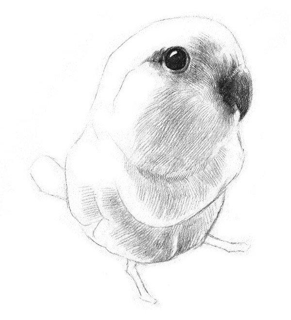 学画画 素描教程 素描动物 > 素描小鹦鹉的绘画教程(3)      5,刻画