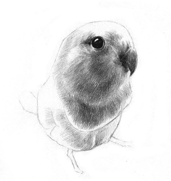 素描鹦鹉的绘画步骤八