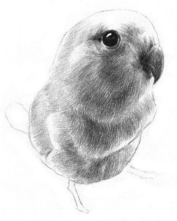 9、刻画腹部,弱化一下腹部和胸部连接处的线条,使其过渡更平滑。  素描鹦鹉的绘画步骤九 10、为其他还空着的亮部轻轻扫上一层阴影,虚化边缘线,稍加深一下脚,小鹦鹉就画完了。  素描鹦鹉的绘画步骤十 小鹦鹉,分布在温、亚热、热带的广大地域。种类非常繁多,有2科、82属、358种,是鸟纲最大的科之一。主要分布于热带森林中。
