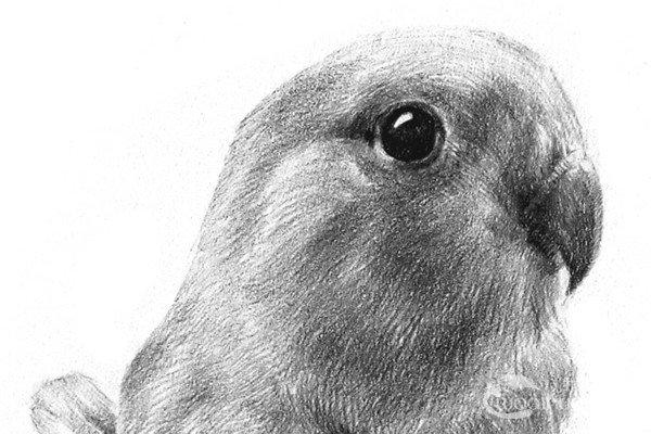 素描小鹦鹉的绘画教程